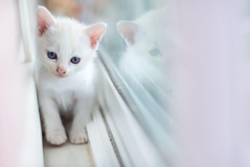 Gato branco, gatos, animais, animais de estimação, vaquinha, gatinhos, gatos felinos, pequenos, fotografia de stock royalty free