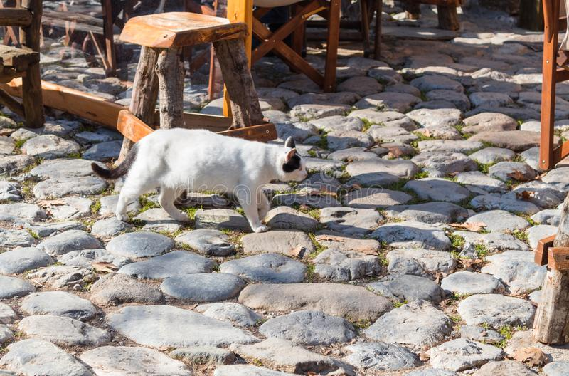 Gato branco grávido que anda na estrada cobbled imagem de stock