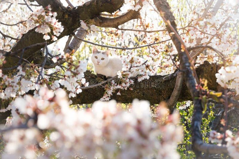 Gato branco na árvore de cereja de florescência fotografia de stock royalty free