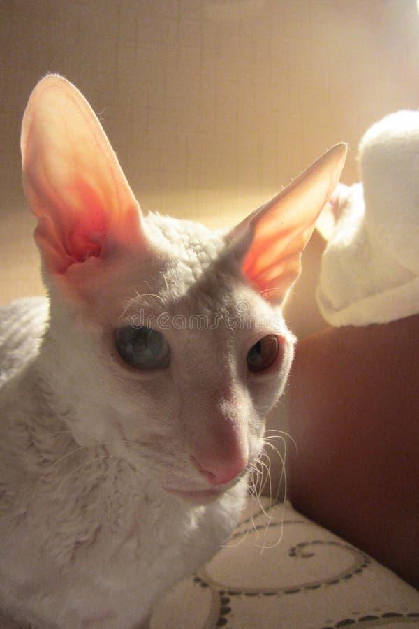 Gato branco na sala escura foto de stock royalty free