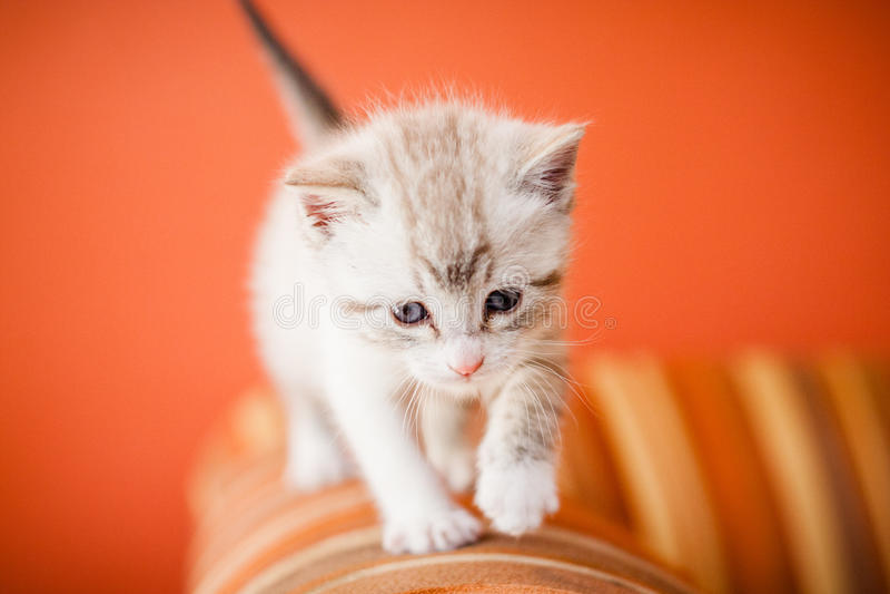 Gato branco pequeno adorável e bonito da vaquinha foto de stock