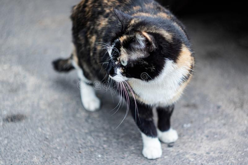 Gato branco preto do gengibre que senta-se no pavimento fotos de stock