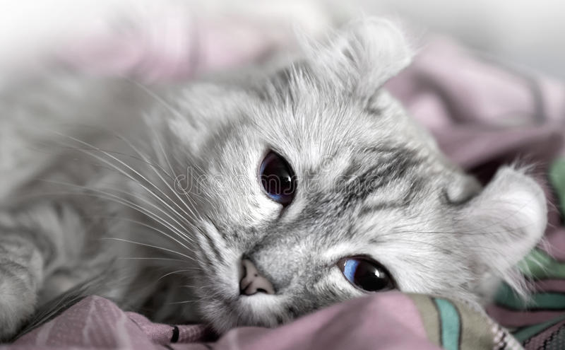 Gato branco que drowsing na cama imagem de stock