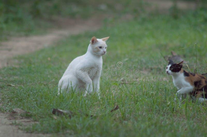 Gato branco que joga ao redor com o outro nas gramas imagem de stock