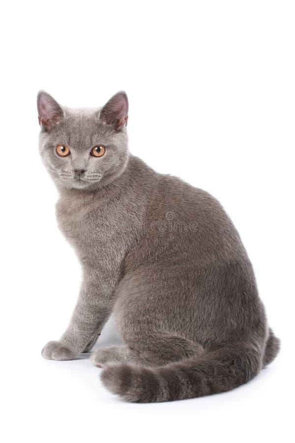 Gato británico imagenes de archivo
