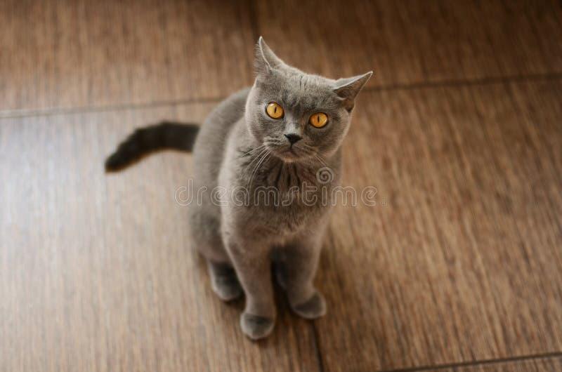 Gato británico azul foto de archivo libre de regalías