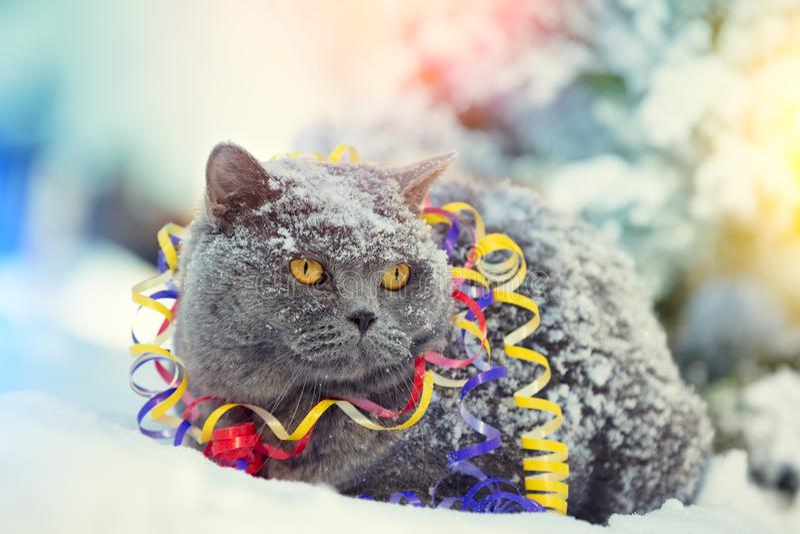 Gato británico azul del shorthair enredado en flámula colorida imagen de archivo
