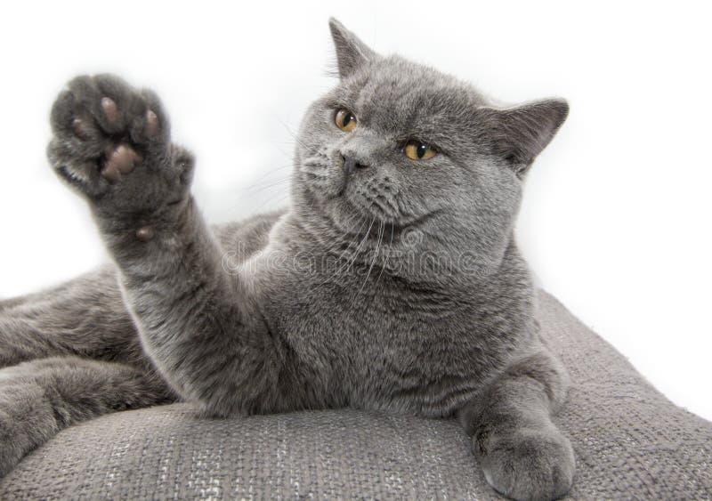 Gato británico con una pata aumentada en el fondo blanco El jugar, es ostnost, dice - la PARADA foto de archivo