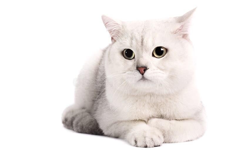 Gato británico de la chinchilla fotografía de archivo