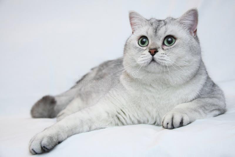 Gato británico de plata foto de archivo libre de regalías