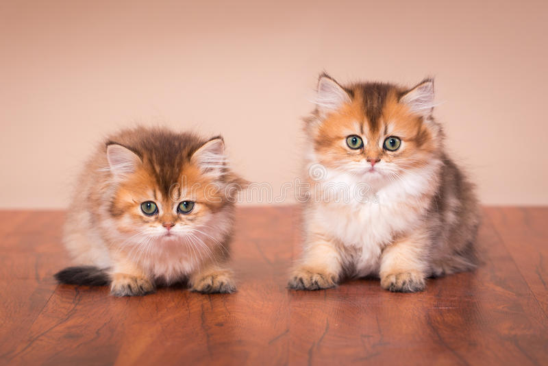 Gato británico de Shorthair fotografía de archivo