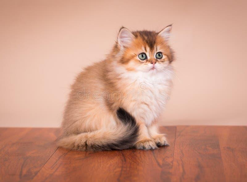 Gato británico de Shorthair imagen de archivo