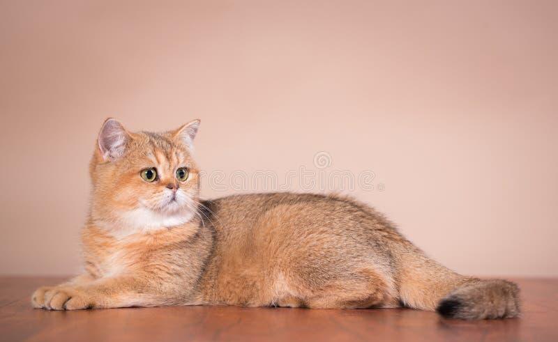 Gato británico de Shorthair fotografía de archivo libre de regalías