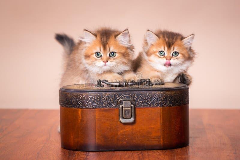 Gato británico de Shorthair fotos de archivo libres de regalías