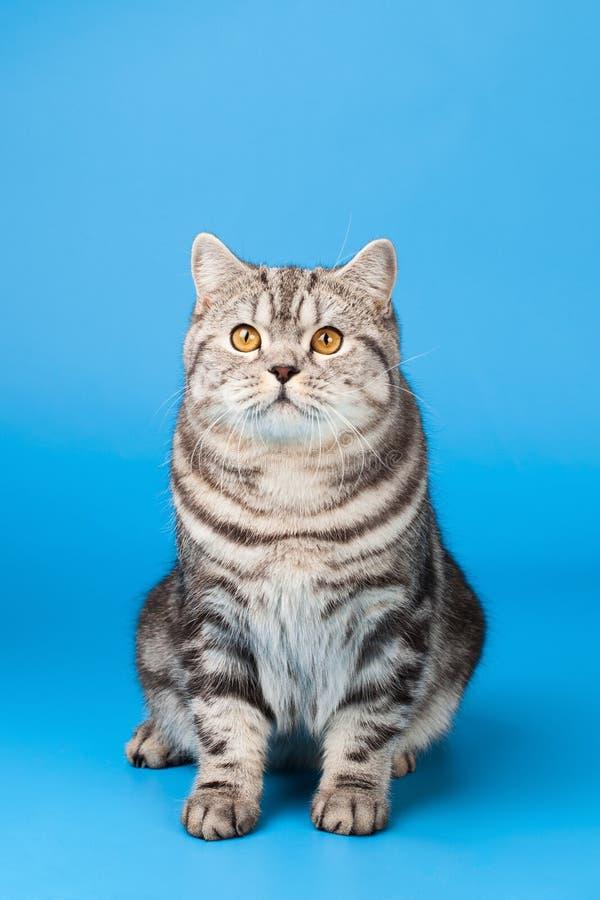 Gato británico de Shorthair foto de archivo libre de regalías