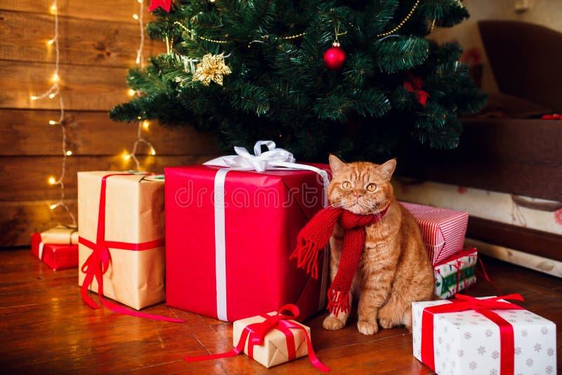 Gato británico del jengibre en la bufanda hecha punto roja que se sienta debajo del árbol de navidad y de las actuales cajas fotos de archivo libres de regalías