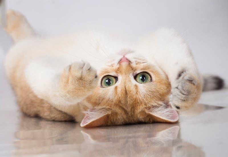 Gato británico del shorthair fotos de archivo