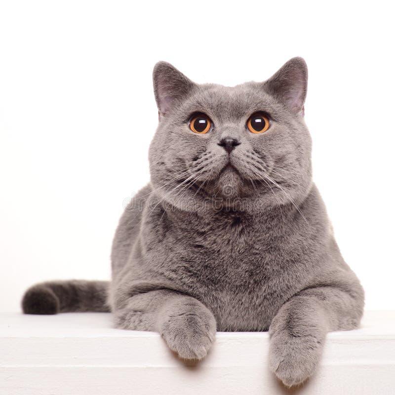 Gato británico del shorthair aislado en blanco fotografía de archivo libre de regalías
