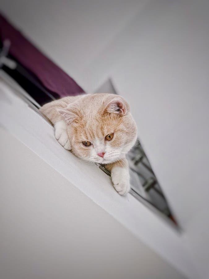Gato británico del shorthair con los ojos grandes fotografía de archivo
