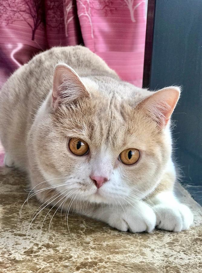 Gato británico del shorthair con los ojos grandes fotos de archivo