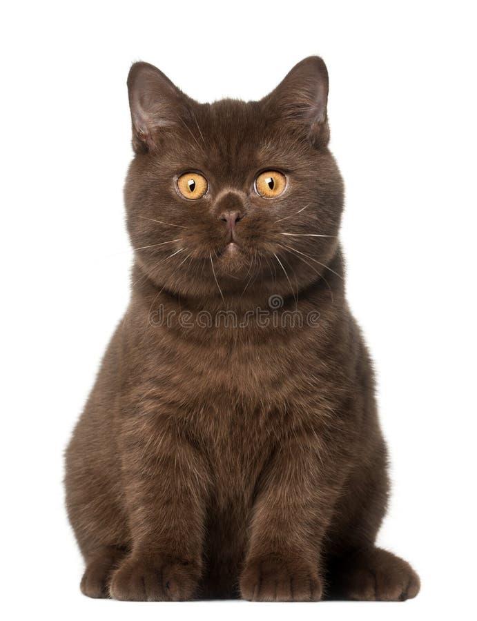 Gato británico del shorthair, gatito, 4 meses fotografía de archivo libre de regalías