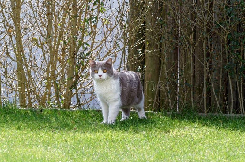 Gato británico del shorthair que se coloca en un césped y que mira hacia cámara imagen de archivo