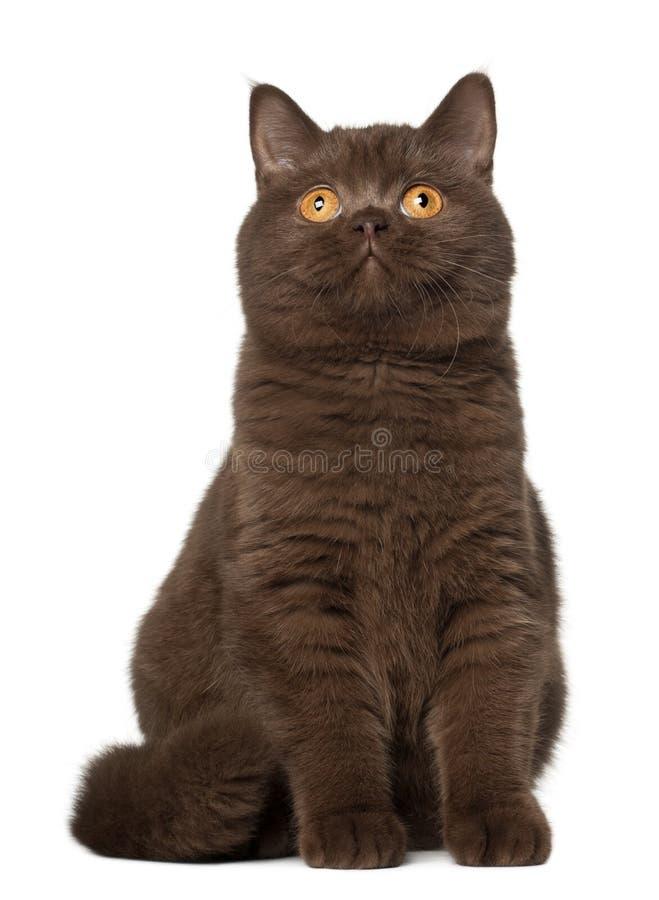 Gato británico del shorthair, sentándose delante de blanco fotos de archivo