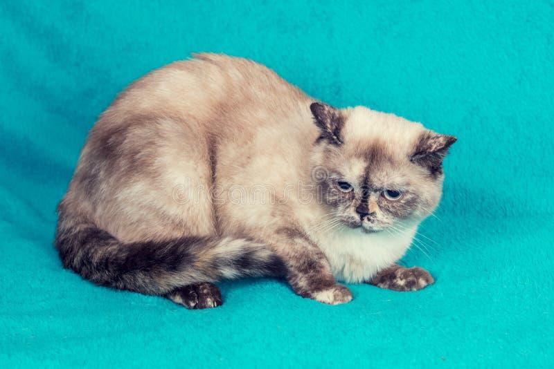 Gato británico dulce de Shorthair que se sienta en una manta azul foto de archivo