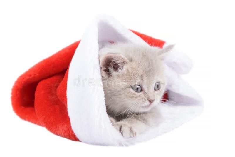 Gato británico en un Santa& rojo x27; casquillo de s en el fondo blanco fotos de archivo libres de regalías