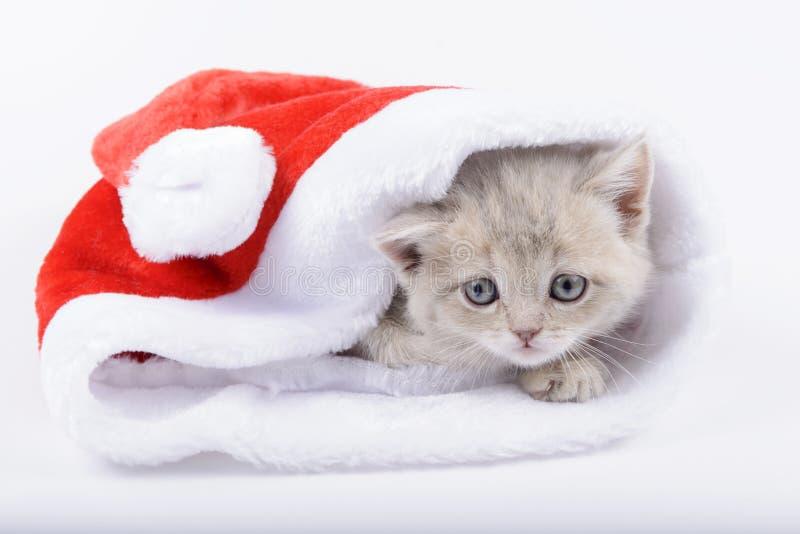 Gato británico en un Santa& rojo x27; casquillo de s en el fondo blanco imagenes de archivo