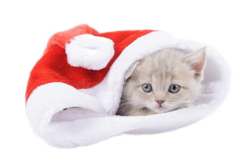 Gato británico en un Santa& rojo x27; casquillo de s en el fondo blanco fotografía de archivo