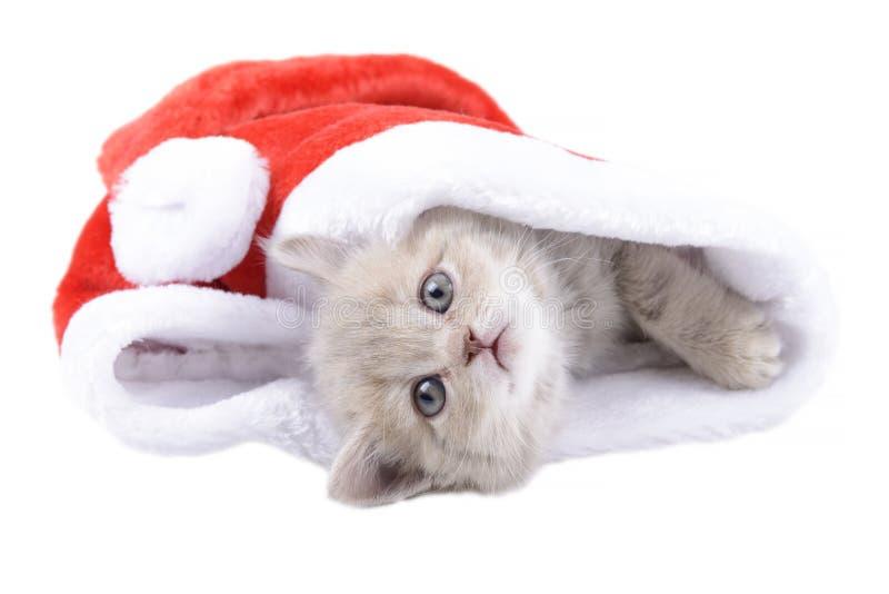 Gato británico en un Santa& rojo x27; casquillo de s en el fondo blanco foto de archivo libre de regalías