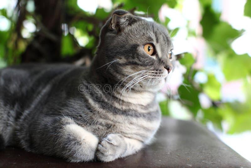 Gato británico gris grande al aire libre fotografía de archivo libre de regalías