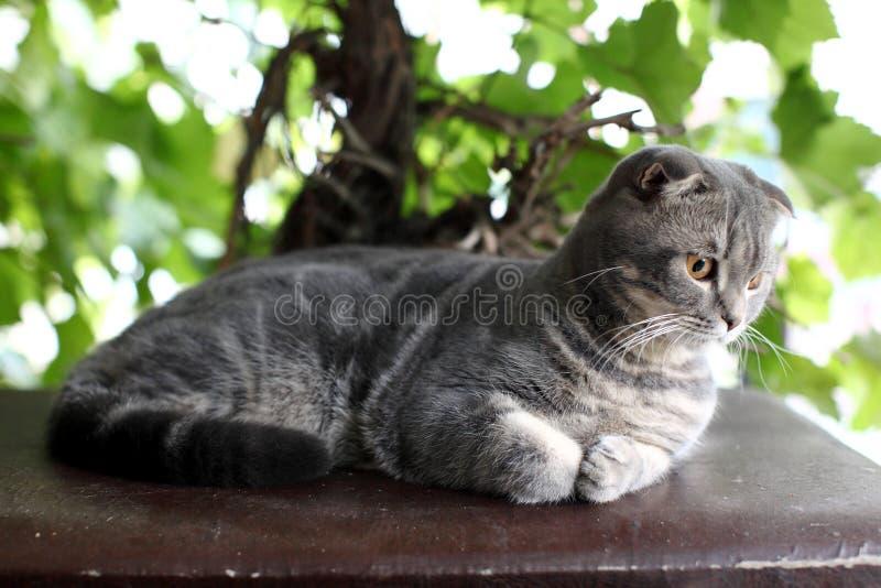 Gato británico gris grande al aire libre imagen de archivo