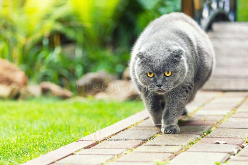 Gato británico gris serio gordo gordo grande con los ojos amarillos que camina en el camino en el aire libre del patio trasero co fotos de archivo libres de regalías