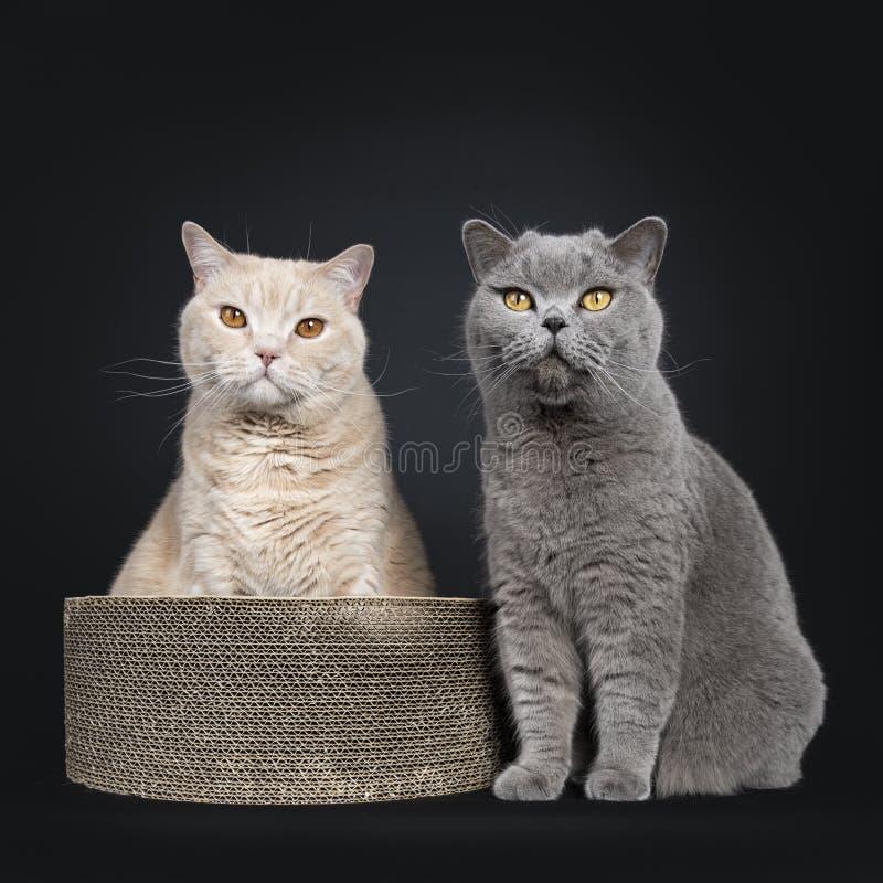 Gato británico poner crema adulto grande de Shorthair aislado en fondo negro imagen de archivo libre de regalías