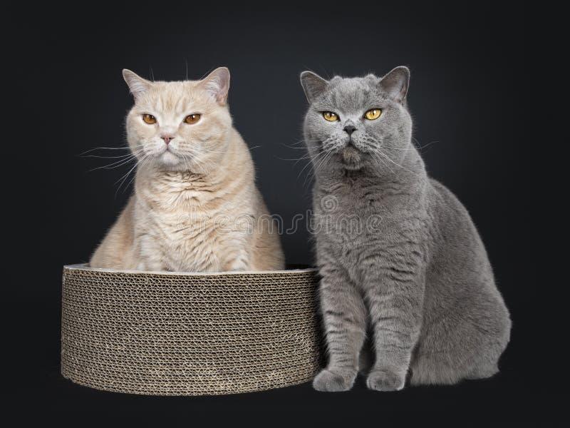Gato británico poner crema adulto grande de Shorthair aislado en fondo negro fotos de archivo libres de regalías