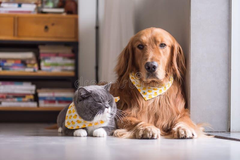 Gato británico y golden retriever foto de archivo