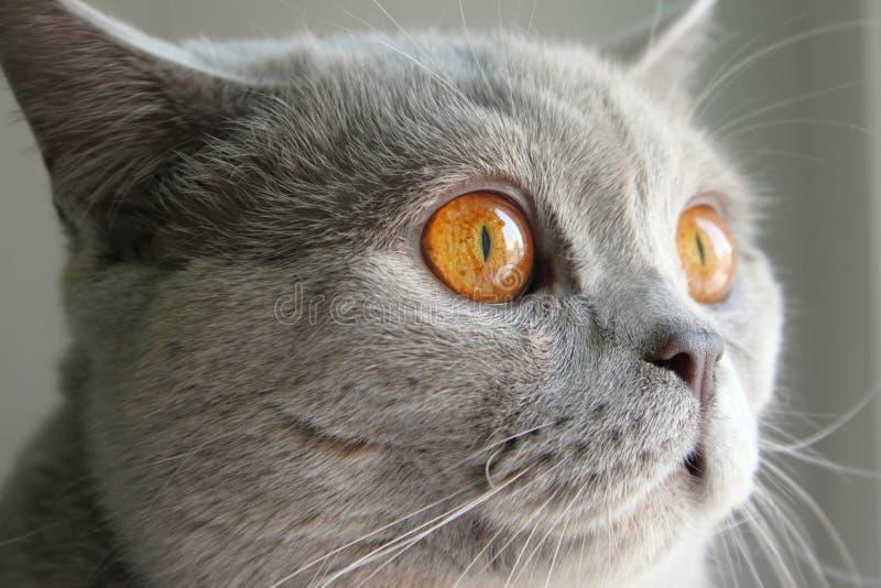 Download Gato britânico foto de stock. Imagem de face, feline - 12807200