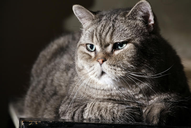 Gato britânico fotos de stock