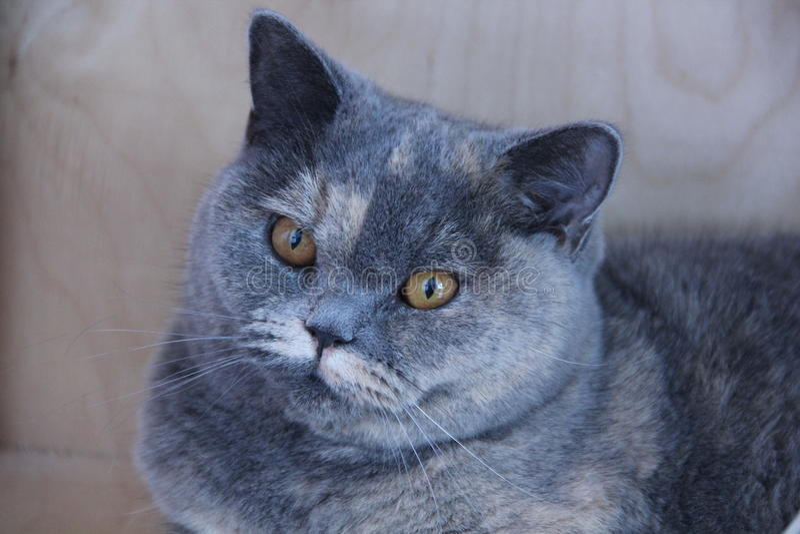Gato britânico fotografia de stock royalty free