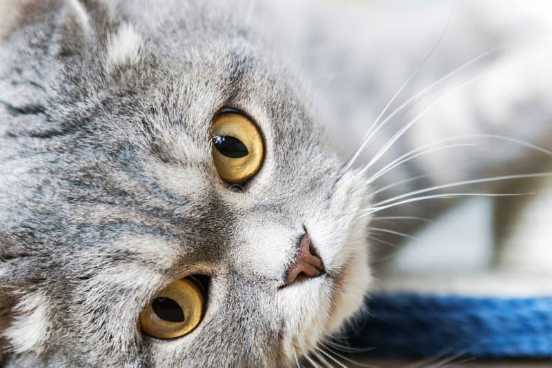 Gato britânico alegre que joga no assoalho foto de stock