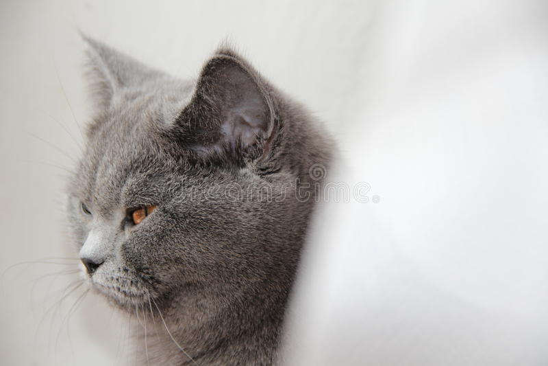Gato britânico bonito fotos de stock royalty free