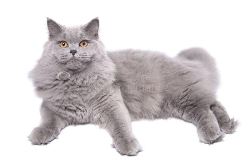 Gato britânico de encontro isolado imagens de stock royalty free