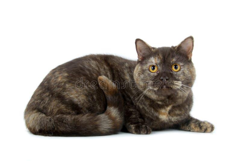 Gato britânico de Shorthair imagens de stock