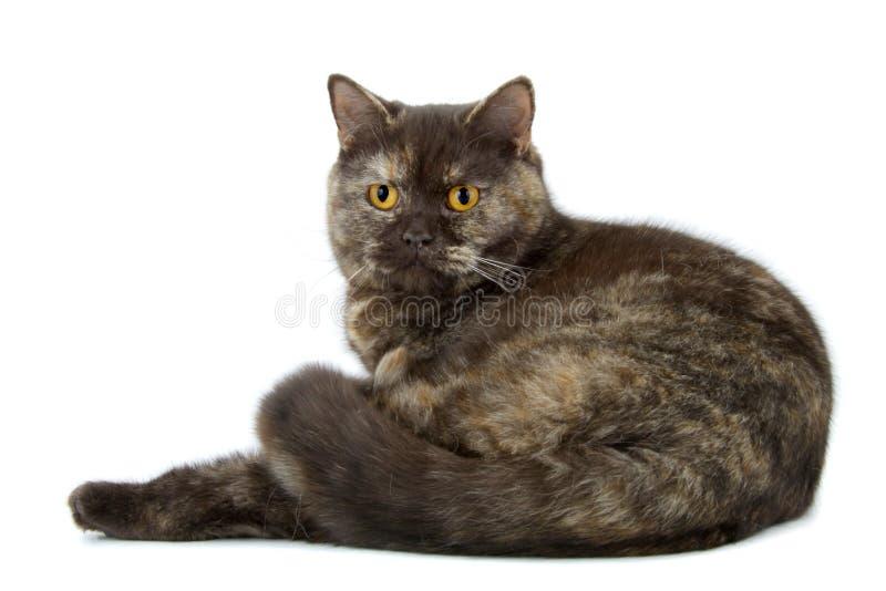 Gato britânico de Shorthair fotografia de stock