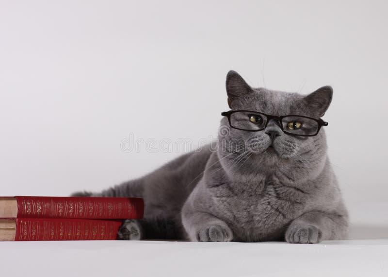 Gato britânico de Shorthair com livros fotografia de stock royalty free