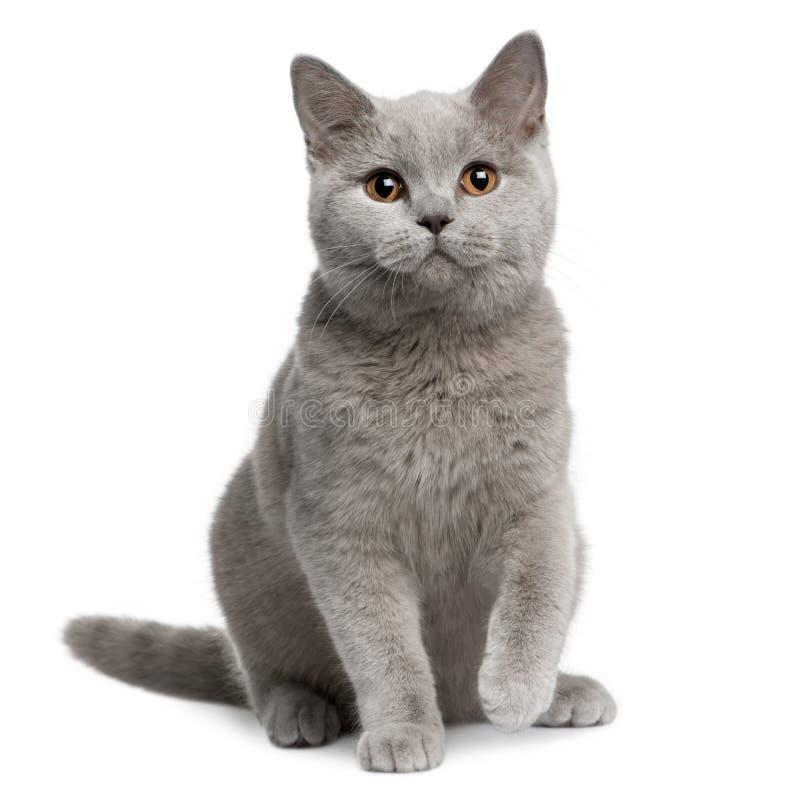 Gato britânico do shorthair, 7 meses velho foto de stock royalty free