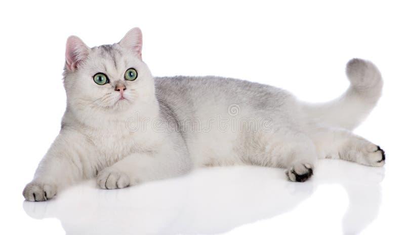 Gato britânico do shorthair que encontra-se para baixo imagens de stock