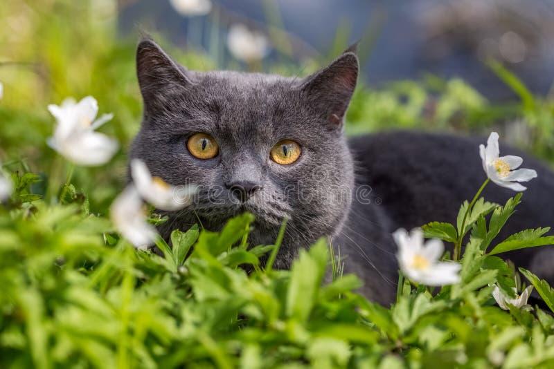 Gato britânico em flores da mola fotos de stock royalty free